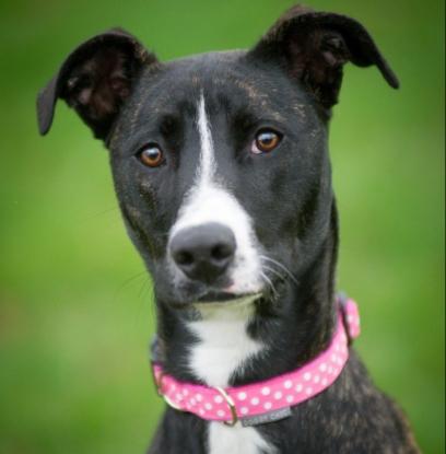 polka dot collar for your dog
