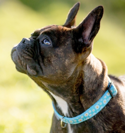 Blue Daisy Collar for your dog