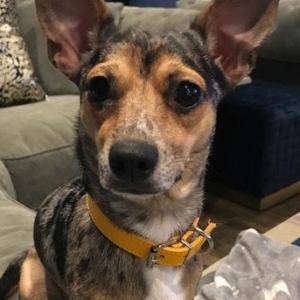 yellow Vegan Leather Dog Collar